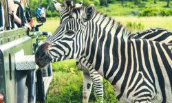 Zebras-Crossing-2017-02-05-9