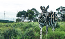 Zebras-Crossing-2017-02-05-8